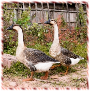 502geese