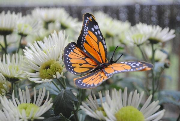 11butterflies
